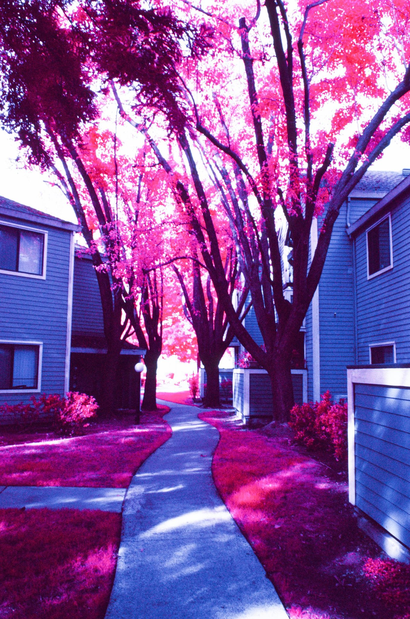 Infrared Film Photo shot with FPP InfraChrome Color Infrared Film and a #12 yellow filter.