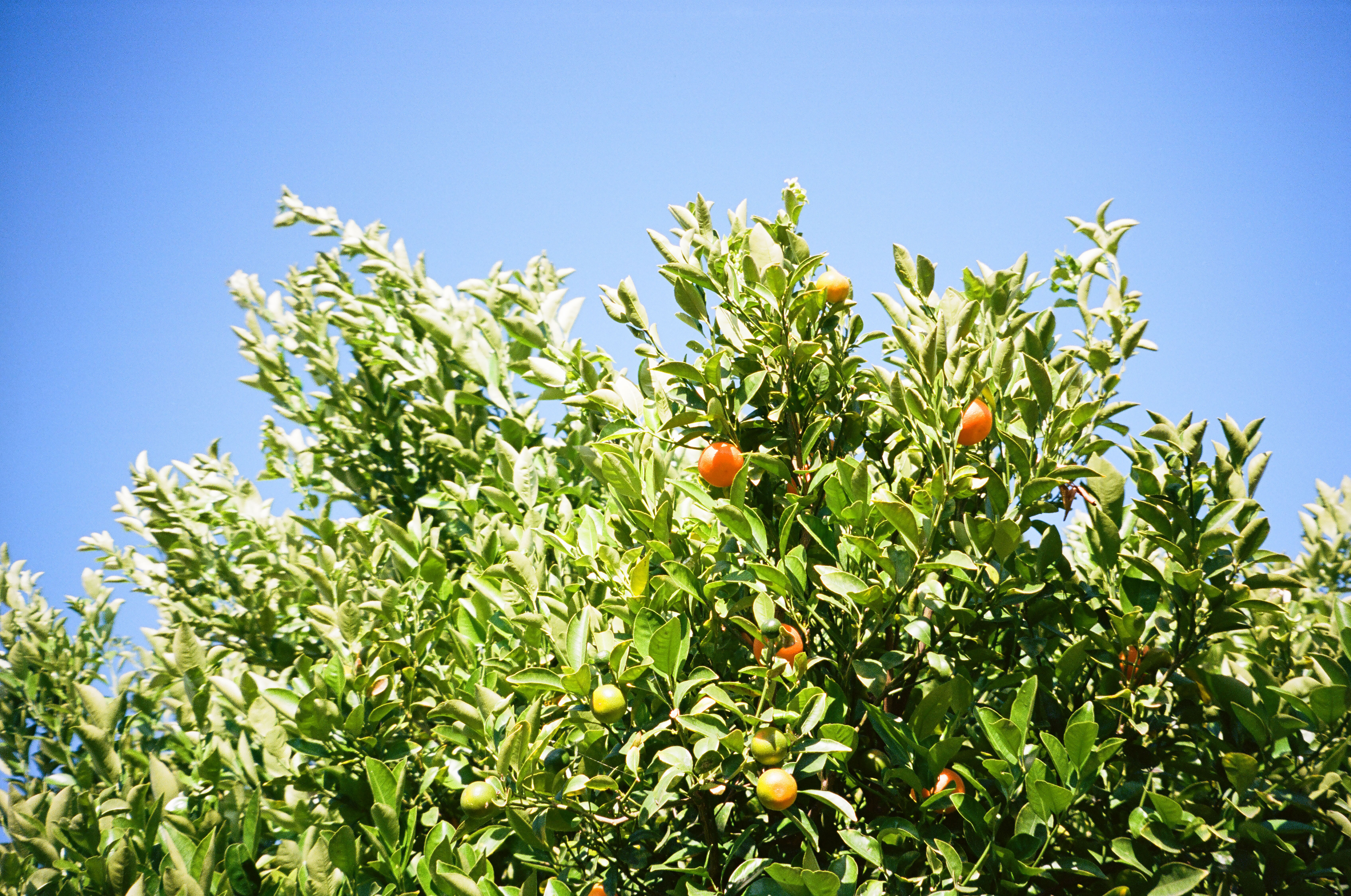 """Calamansi growing in an Orange County backyard. Shot using a Canon Sure Shot 85 Zoom point and shoot camera. """"Super Scan"""" by The Darkroom."""