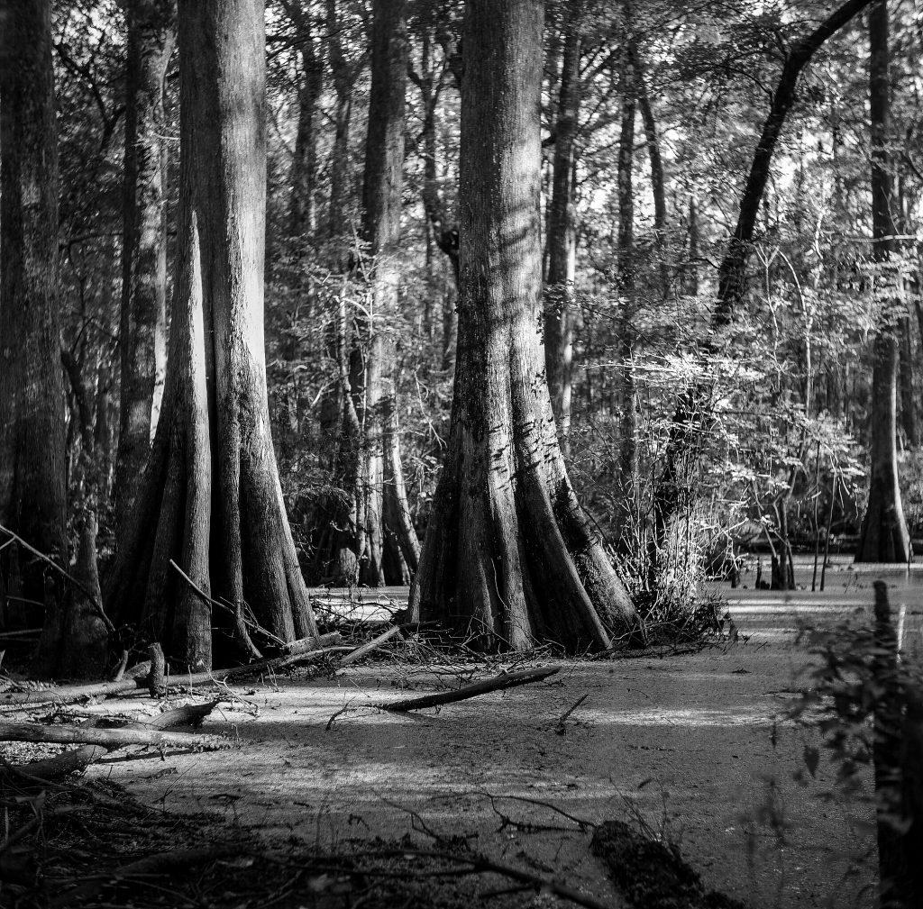 North Florida Swamp. Yashica LM, Ilford FP4 125