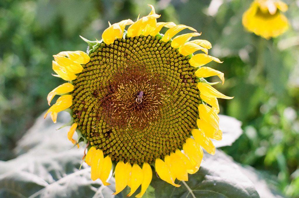 Dix Hill sunflower festival