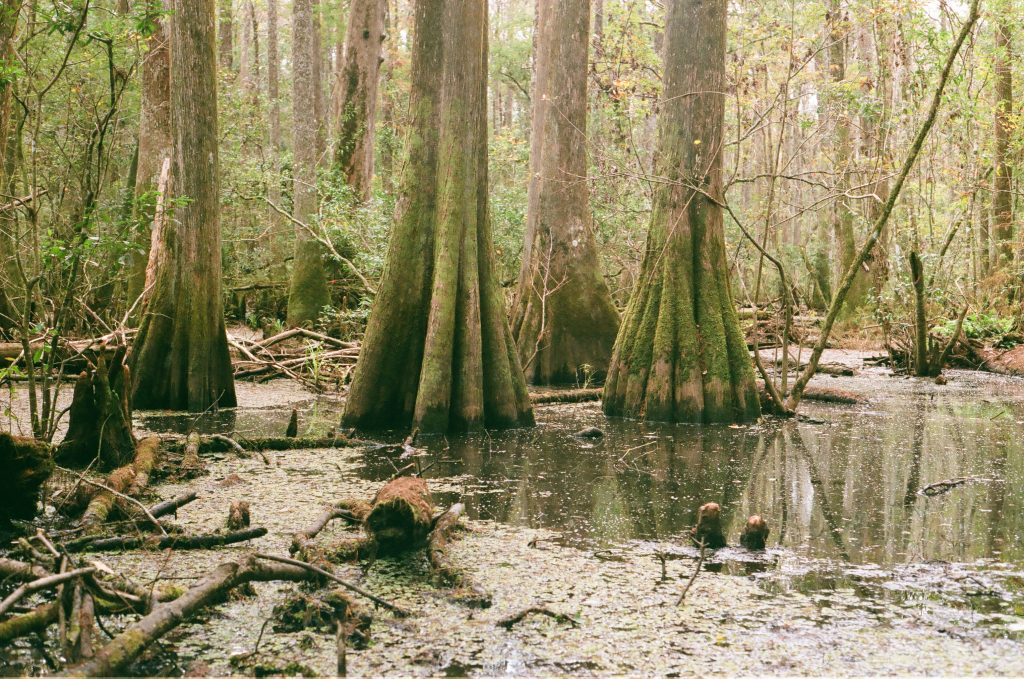 North Florida Swamp Minolta SRT 201, Superia X-TRA 400