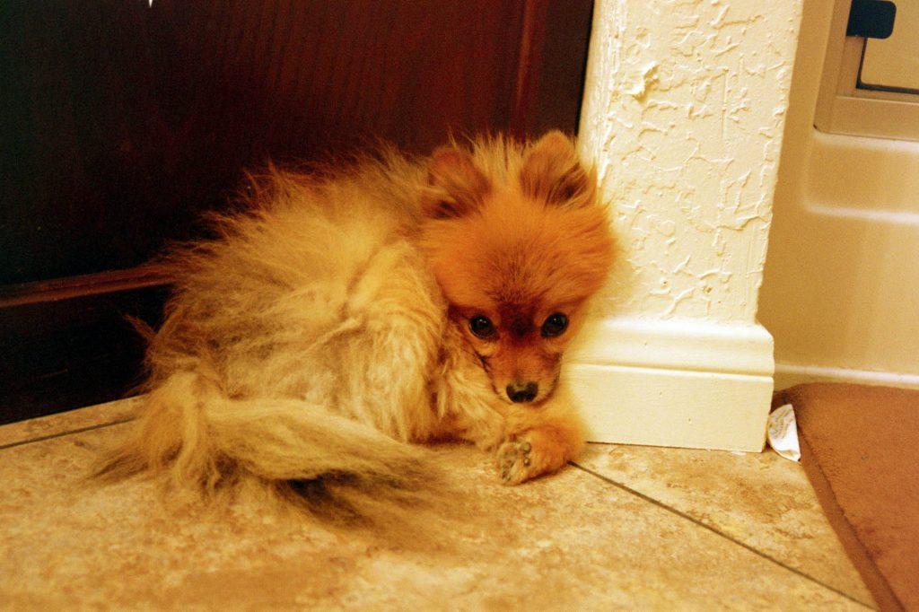 My Pomeranian Doggo February 2018 Nikon N55