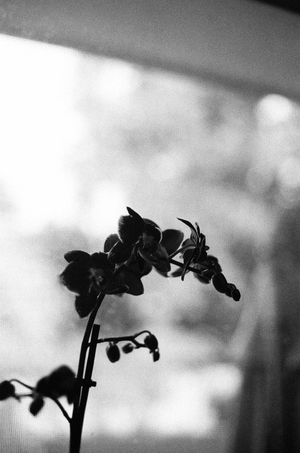 A silhouette of an orchid. Shot at 3200, and developed at 3200 by the Darkroom.