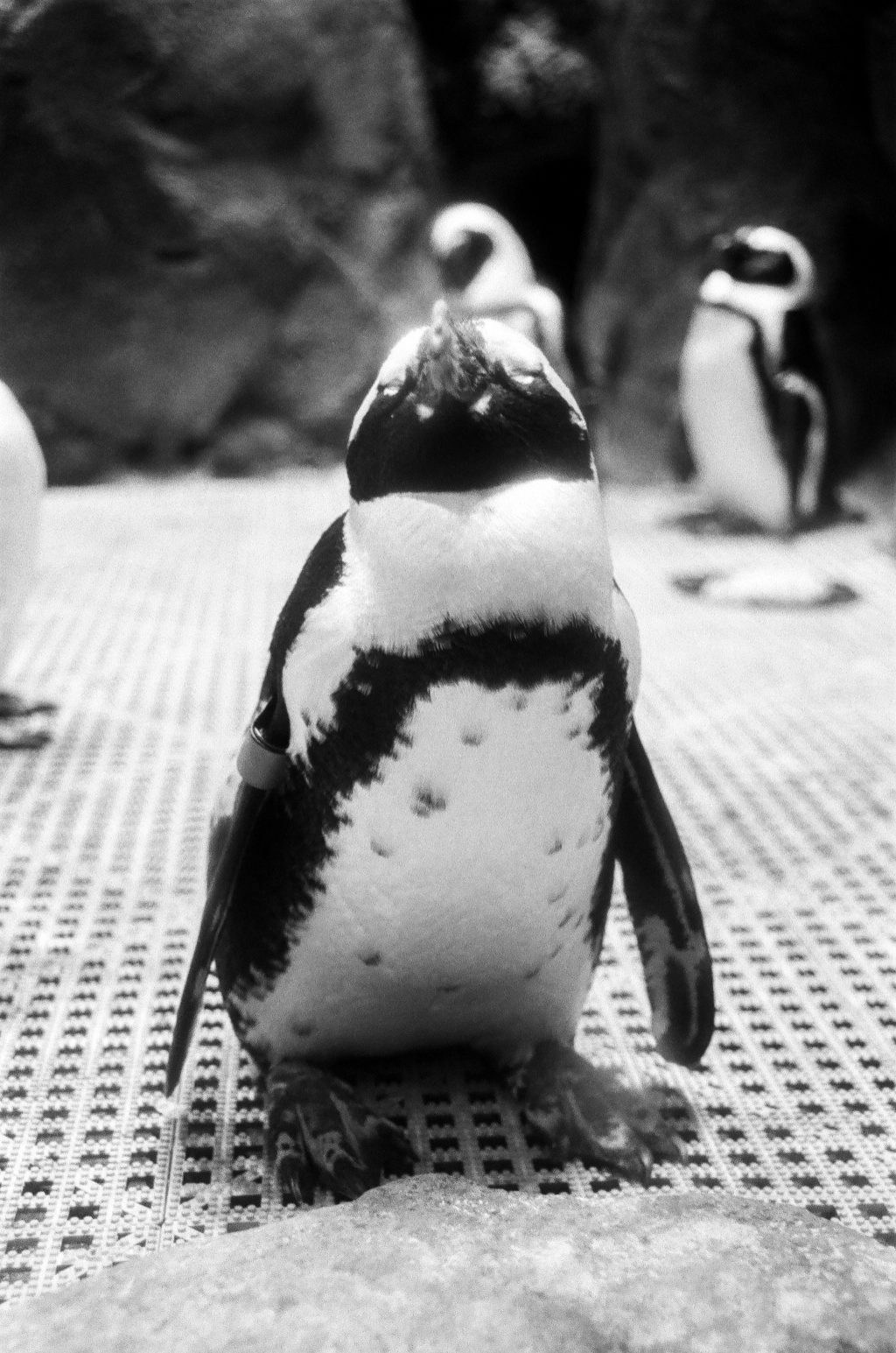 Cheeky Boi- African Penguin at the Greensboro Science Center