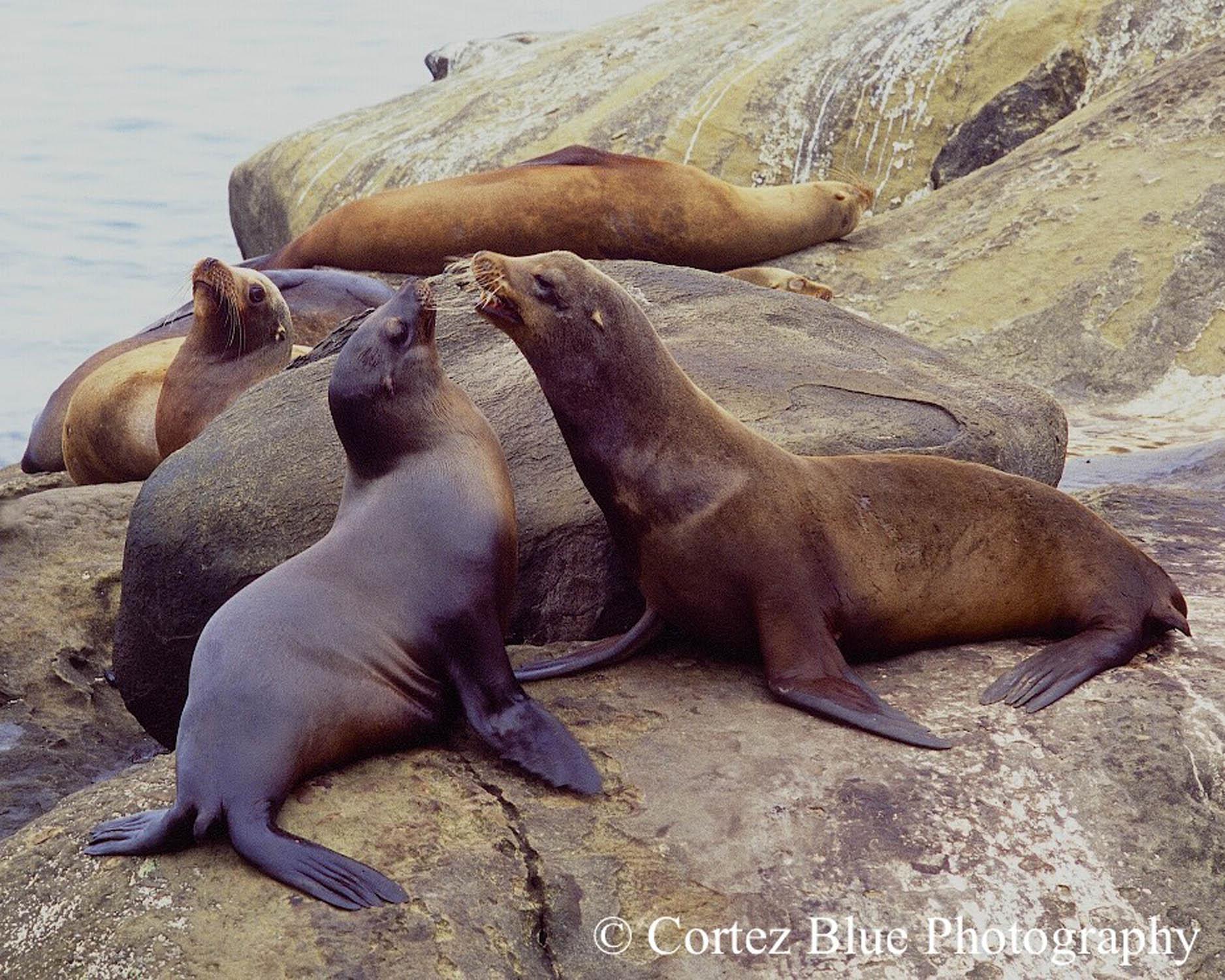 Sea Lions @ La Jolla Cove - ISO 100